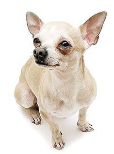 Chihuahue 241 O El Encantador De Perros