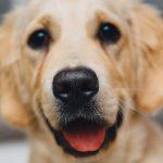 embarazo y parto en las perras
