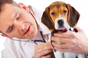 parafimosis canina