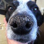 nariz seca en perros