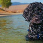 perros saben nadar