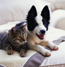 perros y gatos inteligencia