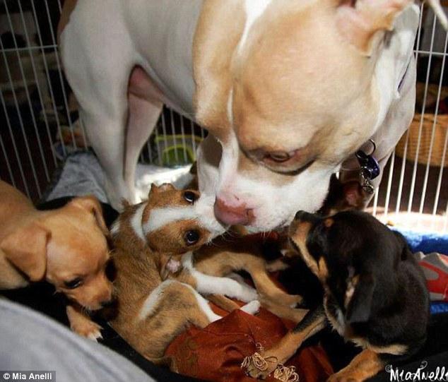 pitbull cuida cachorros
