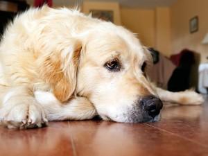 curso de dermatología canina