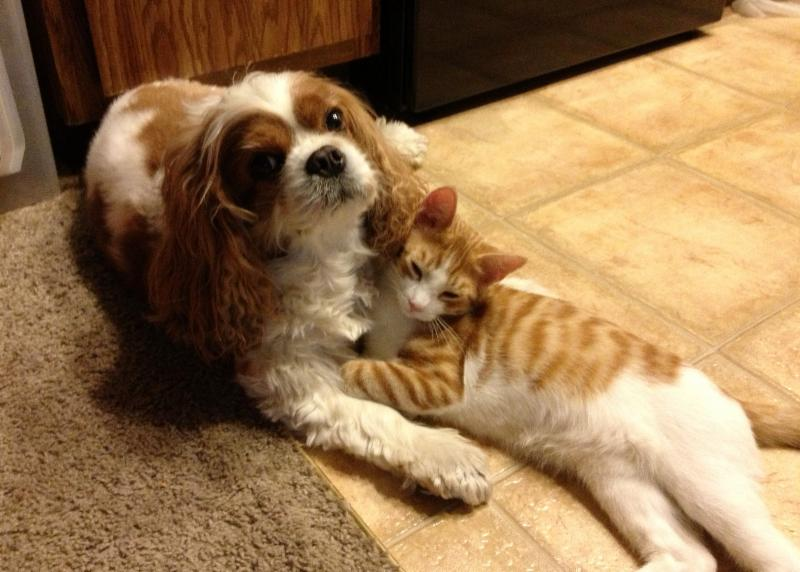 Resultado de imagen para cavalier με μια γάτα