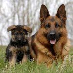 venta de perros