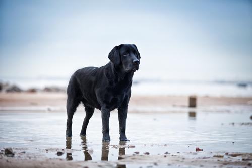razas de perros que adoran nadar