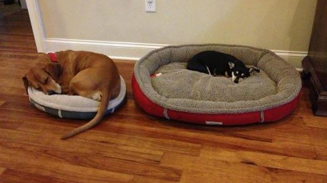 Por qu hay perros grandes que prefieren dormir en camas for Cual es la cama mas grande