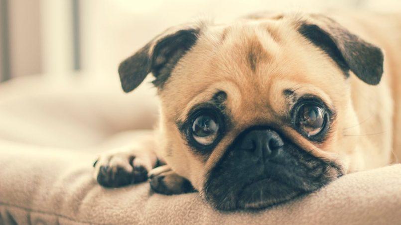 no comprar perros en tiendas