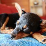 razas de perros que sueltan pelo